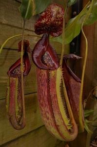 Nepenthes maxima 'dark' x trusmadiensis