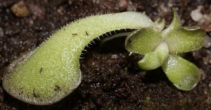 Pinguicula cyclosecta leaf cutting with plantlet.
