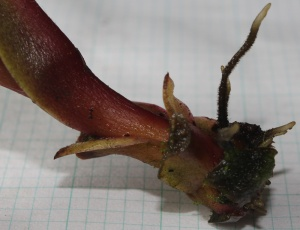 Nepenthes clipeata x ventricosa rooting cutting