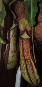 Nepenthes thorelii x maxima - David Colbourn