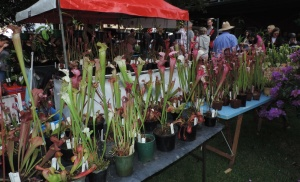 Sarracenia at AusCPS stall