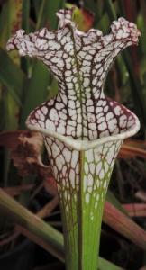Sarracenia leucophylla 'wide mouth'