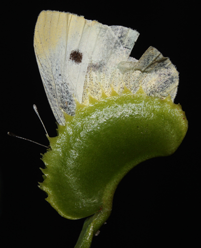 Cabbage White butterfly vs. Dionaea muscipula - RG blog
