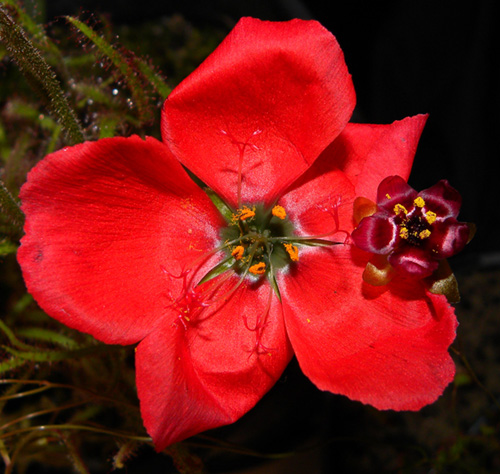 Drosera cistiflora & D. calycina open flowers - RG blog