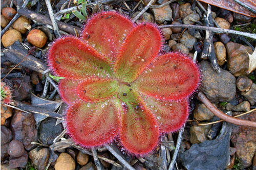 Drosera erythrorhiza subsp collina - GB blog