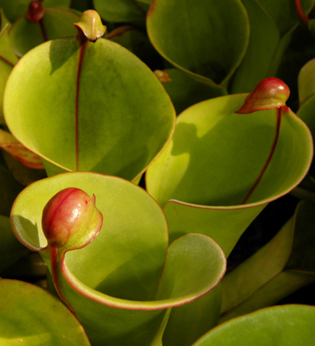 Heliamphora sp pitchers - RG blog
