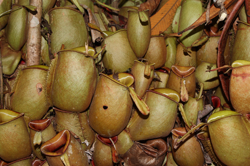 Nepenthes ampullaria - RG blog