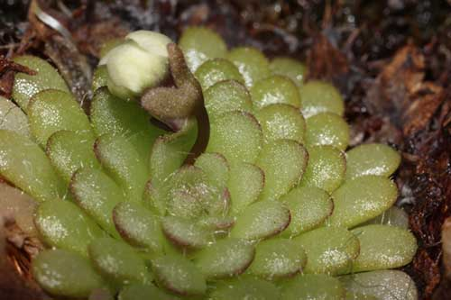 Pinguicula rotundifolia - RG blog