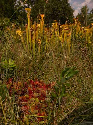 Sarracenia flava & S. purpurea subsp venosa - RG blog